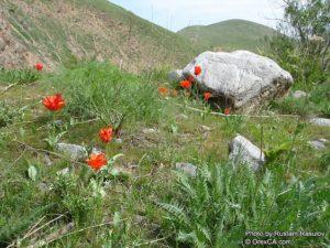Tulipán történet